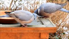 Two wood pigeon doves feeding bird seed in winter Stock Footage