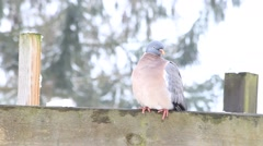 Dove sitting on wooden post and flying away Stock Footage