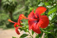 Hibiscus Flower. Shallow DOF Stock Photos