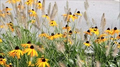 Flowers yellow cornflower (Gold Rush) rudbeckia fulgida with grasses, summer Stock Footage