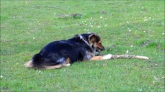 Young dog gnaws a wooden stick Stock Footage