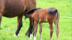 Horse foal filly suckling mare on a green field - stock footage