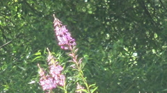 willow-herb, broken roof house - stock footage