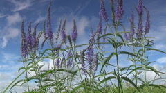 Meadow, sage Stock Footage