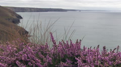 Coastal Heather Wild Flowers in Cornwall England Stock Footage