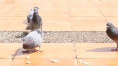Stock Video Footage of Doves Feeding by Crumb