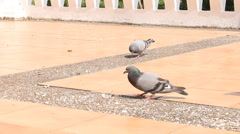 Pigeons are Eating Crumb - stock footage