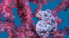 Pink Pygmy seahorse Stock Footage
