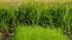 Young rice seedling and wind Stock Footage