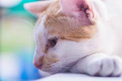 Stock Photo of Close up portrait of white cat