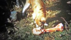1956: Lassie looking style dog is confused seeing a giant bone. Stock Footage
