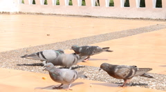 Doves are Eating Crumb - stock footage
