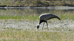 demoiselle crane bird walking in grass - stock footage