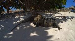 Iguana lizard Stock Footage