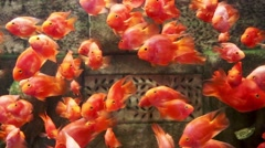 Red Blood Parrot Fish artificially bred view aquarium fish Stock Footage
