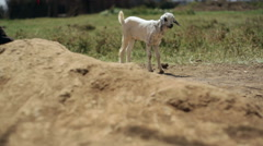 African man lifting baby goat, Kenya, Africa Stock Footage