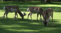 Deers eating in sunny oak forest grassland Footage