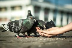 Pigeons lunch - stock photo