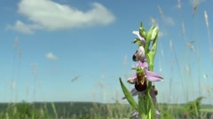 Wild Bee Orchid (Ophrys apifera), endangered species - stock footage