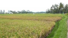 Ripe ears on large ricefield, dusk view, headland, ground pathway - stock footage