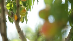 The Young Peach Tree Is Still Green Fruit Stock Footage