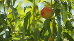 Stock Video Footage of The Fruits Ripen Peaches
