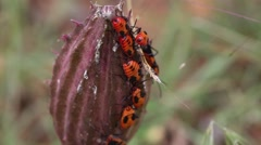 Orange Milkweed Beetles - stock footage
