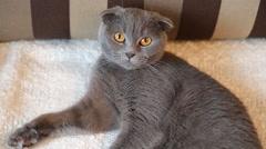 Scottish Fold cat lying on white fur Stock Footage