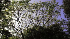 Tree full of sleeping bats during daytime, long shot Stock Footage