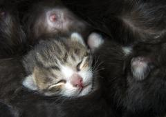 kitten lying in a huddle kittens with mother cats teats - stock photo