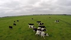 Drone flying in front of running cows on green grass field 4k Arkistovideo