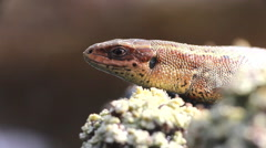 How are ancient animals: lizard Stock Footage
