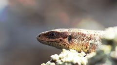 How are ancient animals: lizard breathes and swallows Stock Footage
