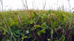 Wild strawberries grow in the field Stock Footage