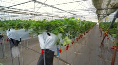 Various shots of strawberries at the japanese farm Stock Footage