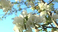 apple blossoms swaying in the wind - stock footage