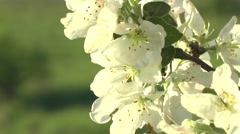 Apple blossoms swaying in the wind Stock Footage