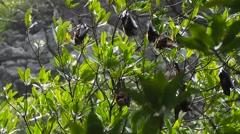 Large flying fox (Pteropus vampyrus) bat Stock Footage
