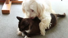 Dog and Cat in Love!  White Dog Kisses and Licks Black  Cat (MS) Stock Footage