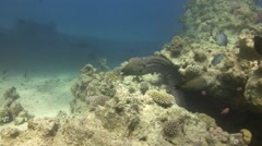 Giant moray - gymnothorax javanicus Stock Footage