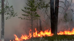 Fire. Strong flame in a pine forest. Smoke and bright flashes of fire. Stock Footage