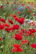 Poppies (Papaver rhoeas) amongst wild flowers Stock Photos