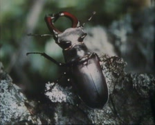 Stag beetle (lucanus cervus) on decaying timber Stock Footage