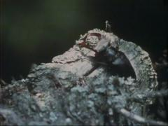Stag beetle (lucanus cervus) male climbing across decaying timber Stock Footage