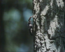 Stag beetle (lucanus cervus) male climbing up a pine tree Stock Footage