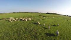 Aerial stunt race drone sheep herding a herd of white running sheep 4k Stock Footage