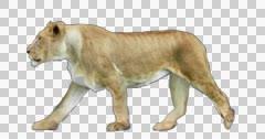 Lioness Walks Stock Footage