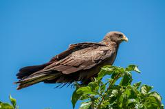 Stock Photo of Yellow Billed Kite on top of a Tree