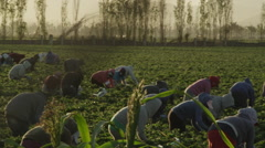 Latino Field Workers picking fruit in the Sunrise Stock Footage