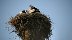 Family of storks in a large nest Stock Footage